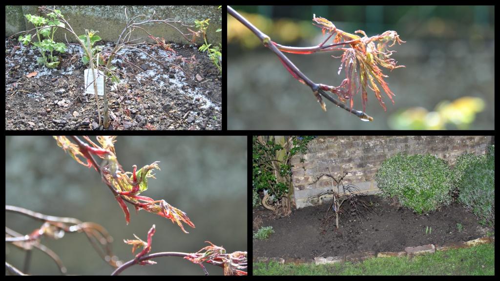 Les rables les chroniques de mon jardin - Maladie erable du japon ...