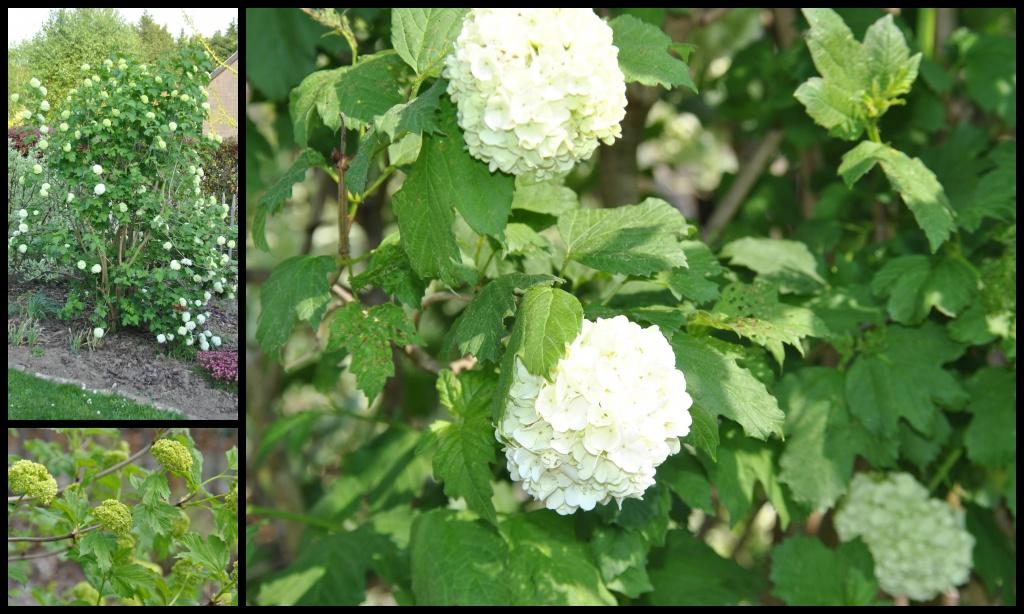 Indispensables viornes les chroniques de mon jardin - Boule de neige plante ...