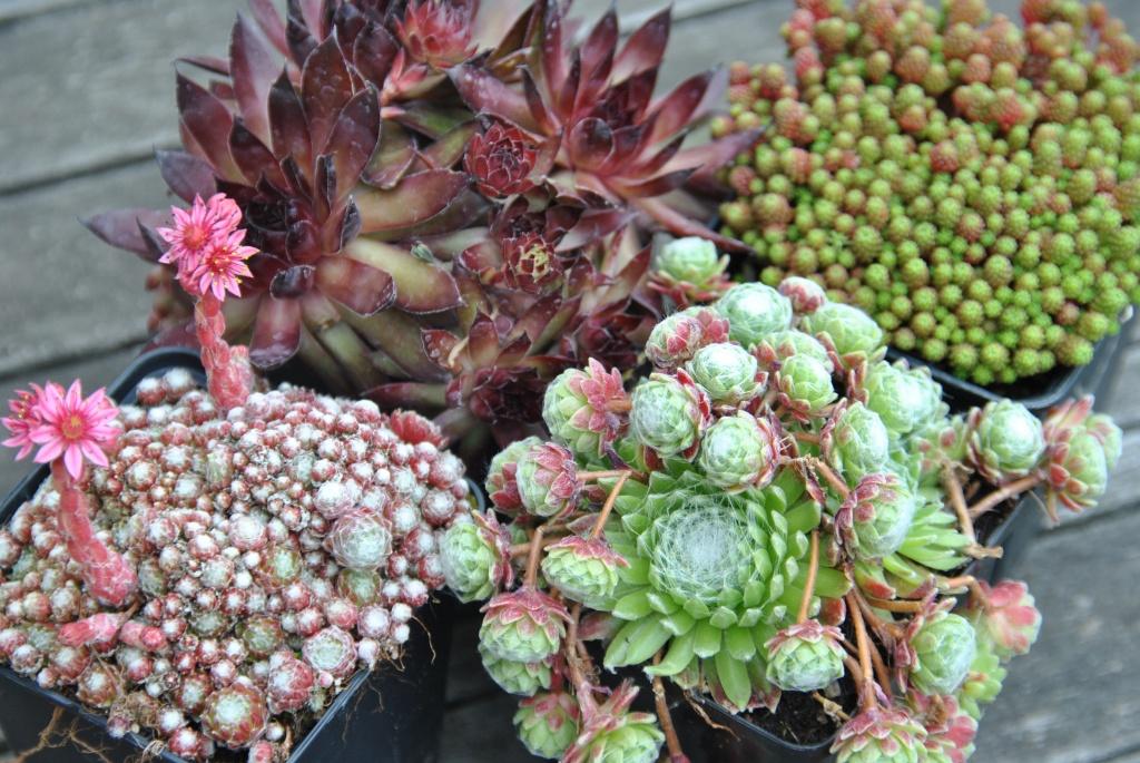 La marche des joubarbes les chroniques de mon jardin for Solde plante jardin