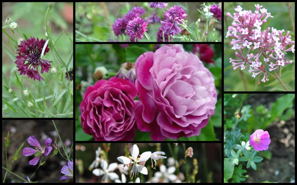 Blue eden les chroniques de mon jardin - Deplacer un rosier ...