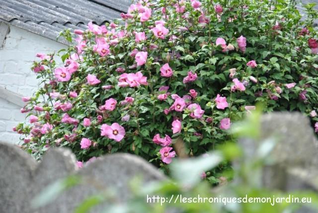 Hibiscus syriacus  Les Chroniques de mon Jardin