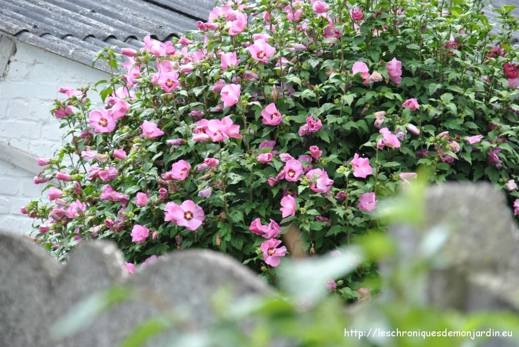 hibiscus syriacus les chroniques de mon jardin. Black Bedroom Furniture Sets. Home Design Ideas