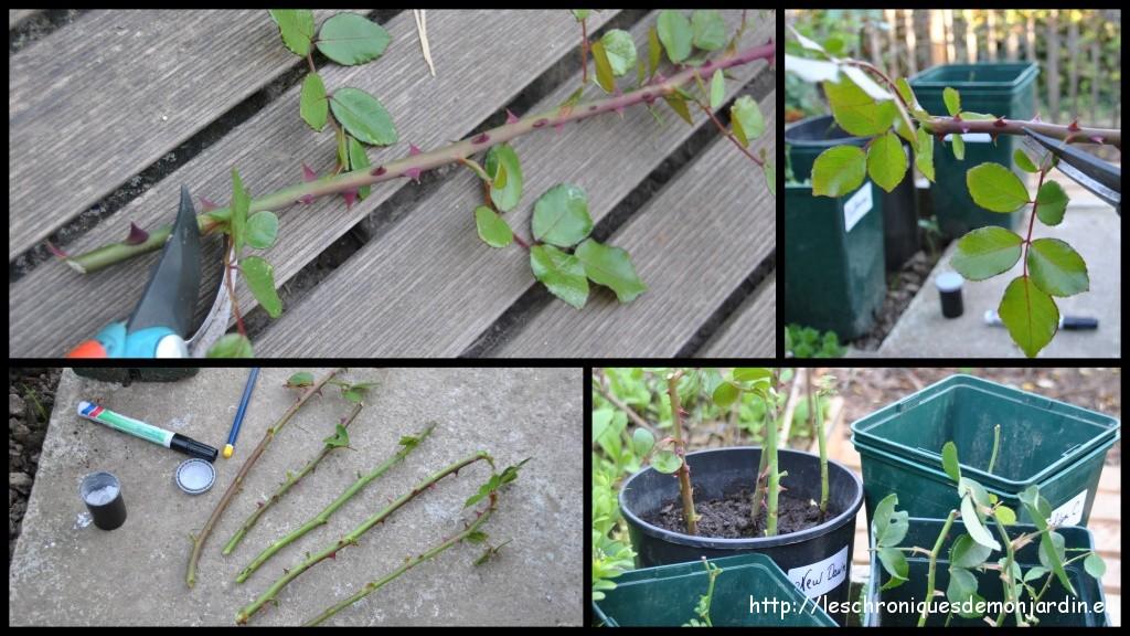 boutures de rosiers les chroniques de mon jardin. Black Bedroom Furniture Sets. Home Design Ideas