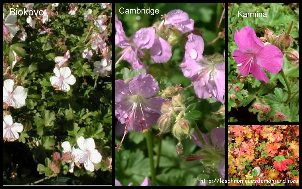 G raniums vivaces les chroniques de mon jardin - Beau jardin rose and geranium ...