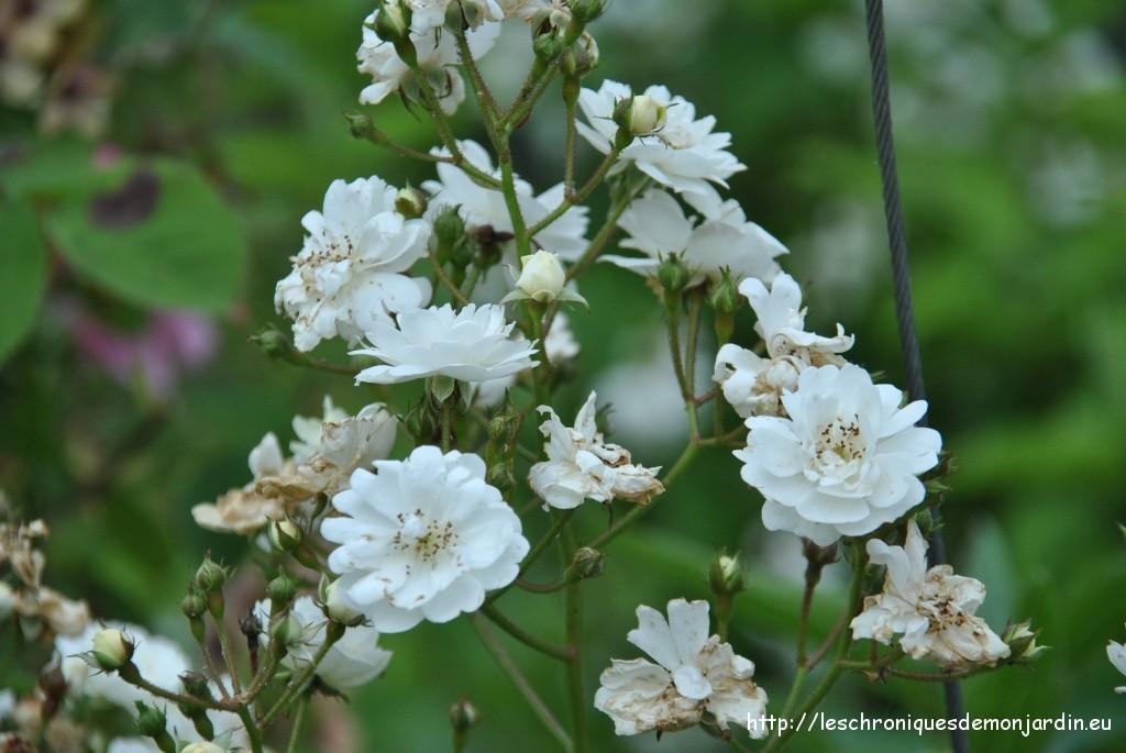 Petites fleurs blanches pour bouquets jardin fleurs blanches ...