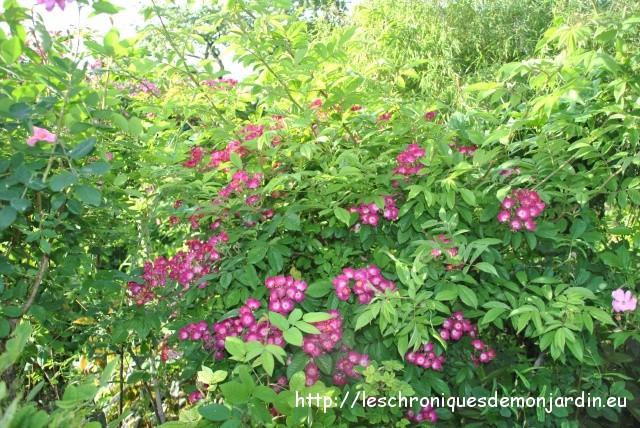Cogitations les chroniques de mon jardin - Deplacer un rosier ...