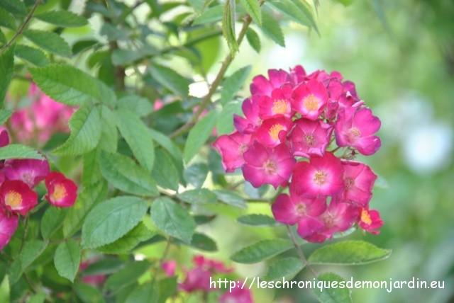 Mes rosiers grimpants les chroniques de mon jardin - Quand planter un rosier ...