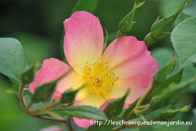 mes rosiers de 2013 : 'the alexandra rose' | les chroniques de mon