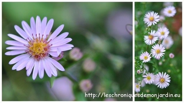 Aster 'Dady