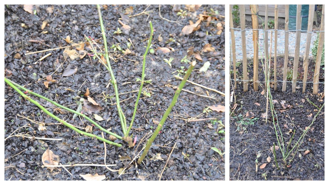 C est le moment de tailler les rosiers grimpants remontants les chroniques de mon jardin - A quel moment tailler les rosiers ...