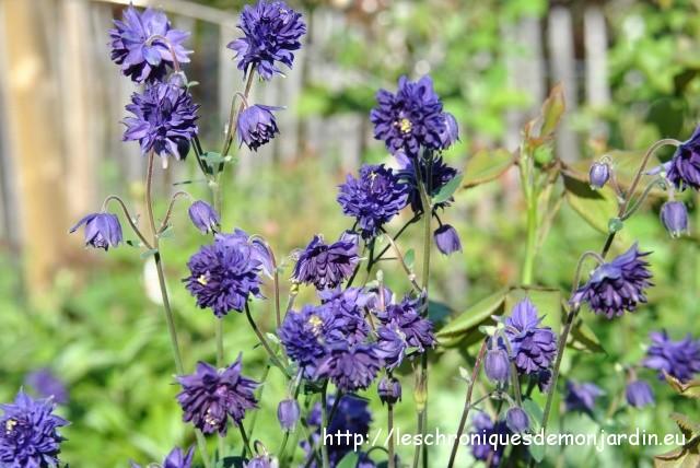 ancolies 'Blue Barlow'