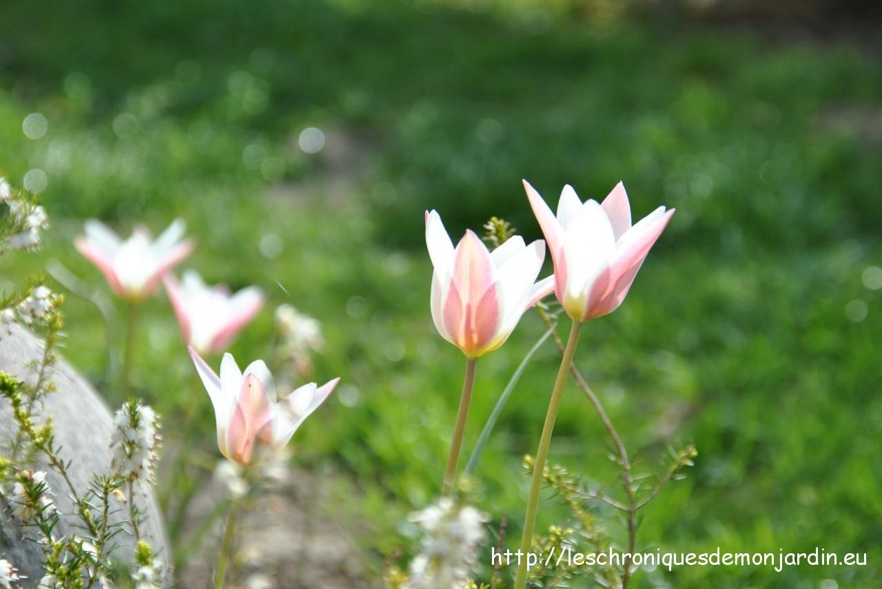 Tulipes botaniques lady jane les chroniques de mon jardin - Planter des tulipes en mars ...