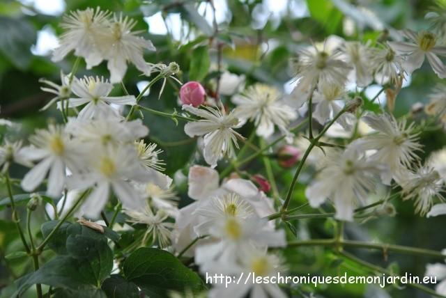 chroniques de mon jardin fleurs de septembre 2 les jardins de malorie. Black Bedroom Furniture Sets. Home Design Ideas