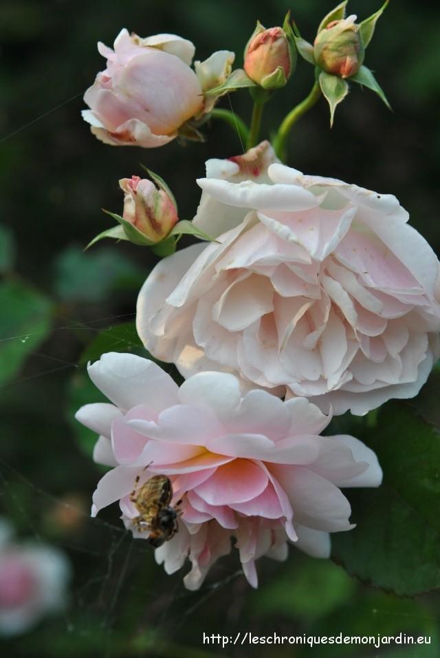 Fleurs de septembre 2 les chroniques de mon jardin - Deplacer un rosier ...