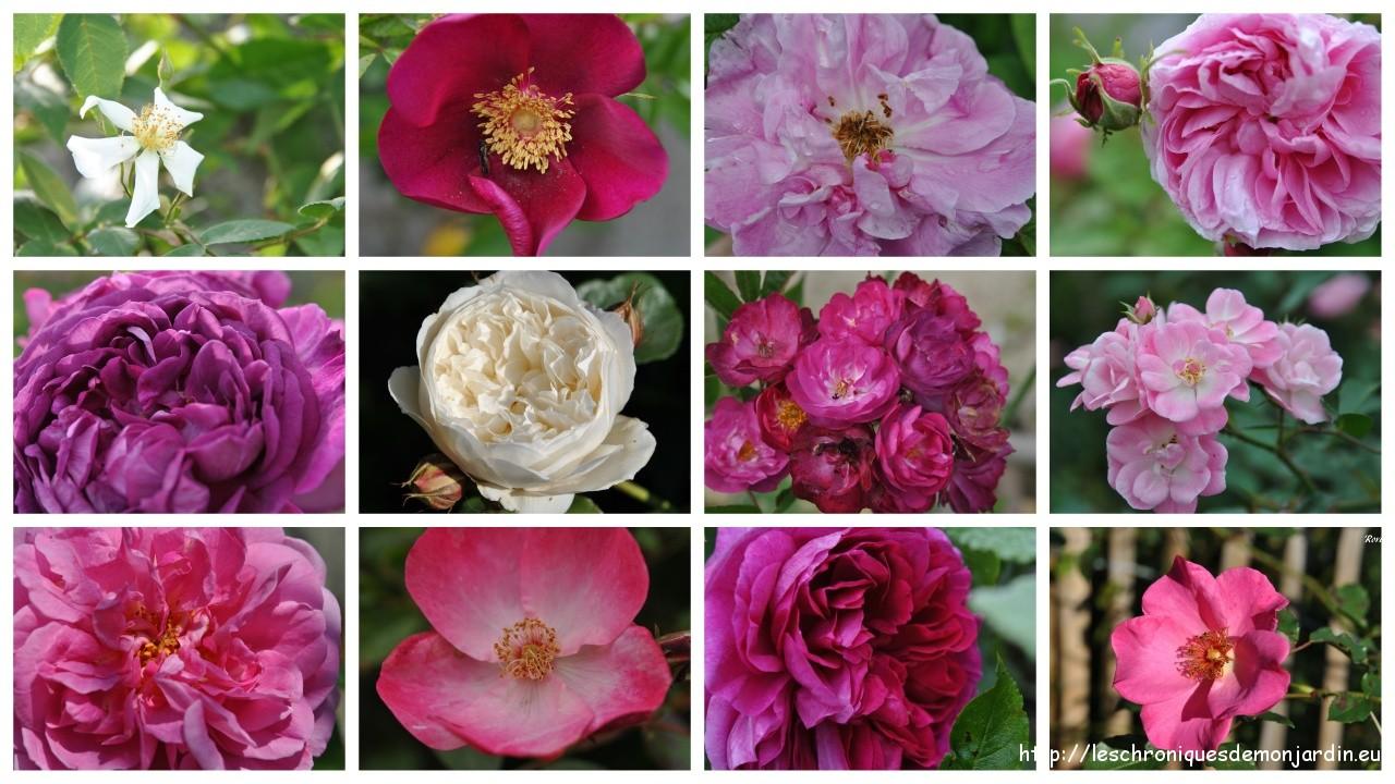 rosier semis d'André Souvenir de Pithivier